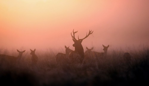 Deer at the dawn
