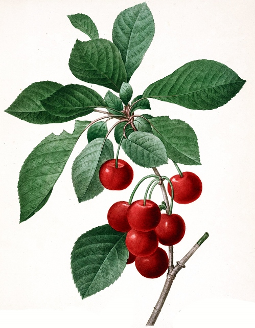 Cherry - Illustration by Pierre-Joseph Redoute