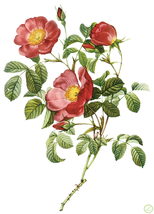 Flower Illustration by Pierre-Joseph Redoute