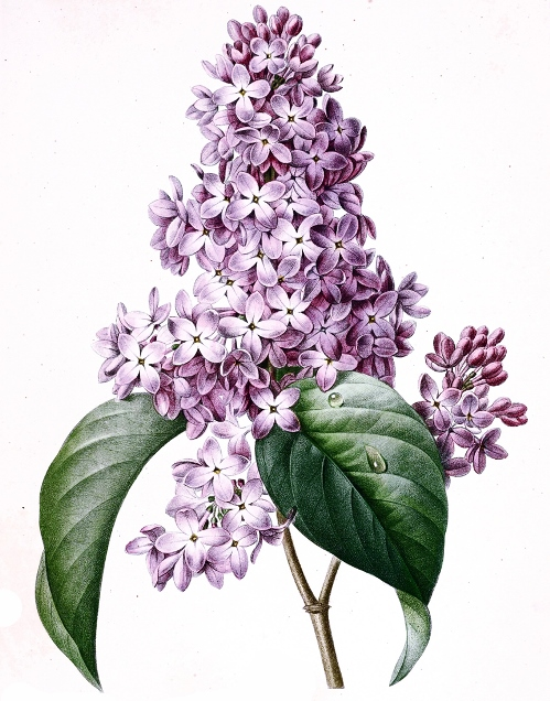 Lilac - Illustration by Pierre-Joseph Redoute
