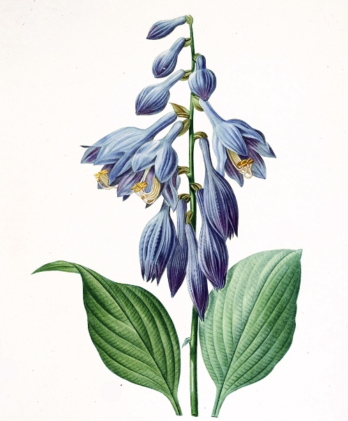Hemerocallis Caerulea (Hosta) - Illustration by Pierre-Joseph Redoute
