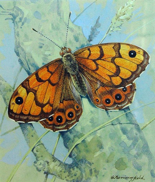 Butterfly. Watercolor painting by British artist Gordon Beningfield