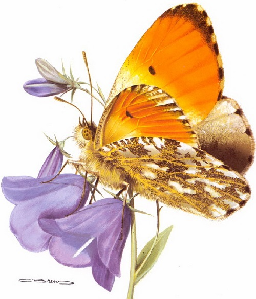 Anthocharis cardamines Linne. Painting by Belgian wildlife artist Carl Brenders