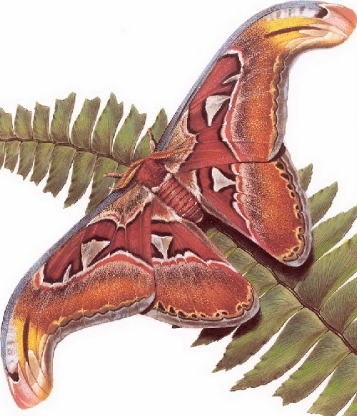 Butterfly symbolism. Attacus Atlas. Painting by Carl Brenders