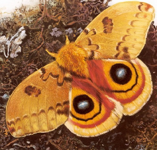 Butterfly symbolism. Automeris io. Painting by Carl Brenders