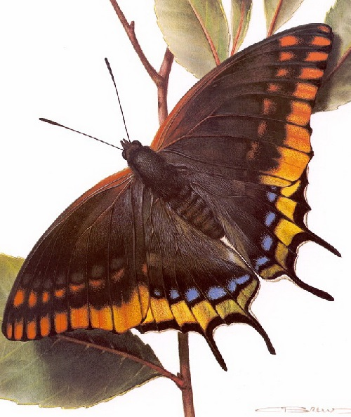 Butterfly symbolism. Charaxes jasius. Painting by Carl Brenders
