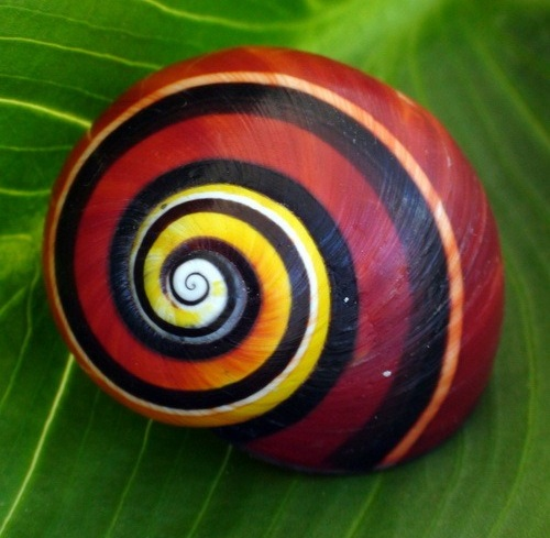 Painted snail Polymita picta, Colorful Cuban land snail