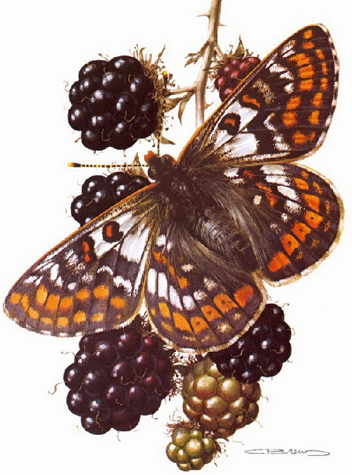 Butterfly symbolism. Euphydryas cynthia Ichiffermiiller. Painting by Carl Brenders