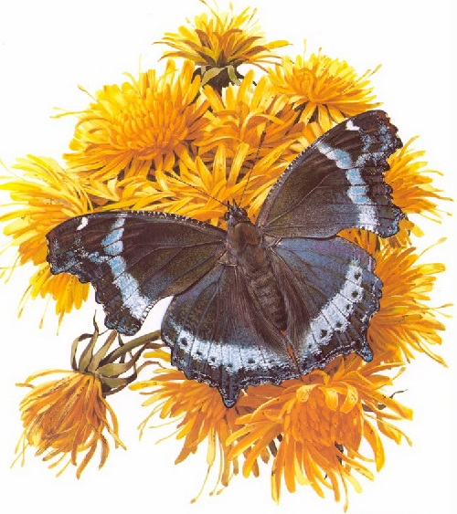 Butterfly symbolism. Kaniska Ganace. Painting by Carl Brenders