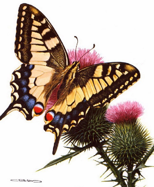 Papilio Machaon Linne. Painting by Carl Brenders
