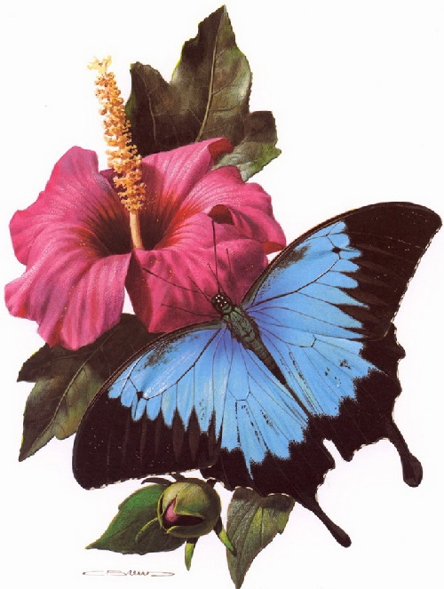 Papilio Wysses. Painting by Carl Brenders
