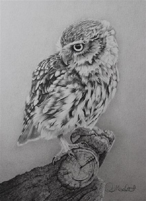 Little Owl. Realistic pencil drawing by British wildlife artist Clive Meredith