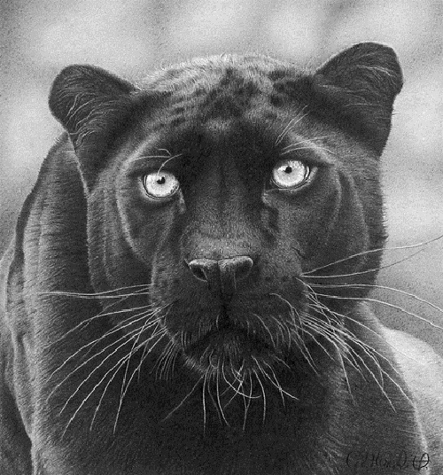 Black panther. pencil drawing by Clive Meredith
