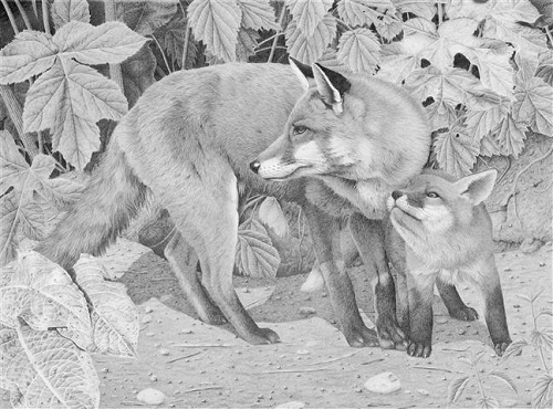 Vixen and cub. pencil drawing by Clive Meredith
