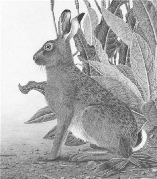 Brown Hare portrait. pencil drawing by Clive Meredith