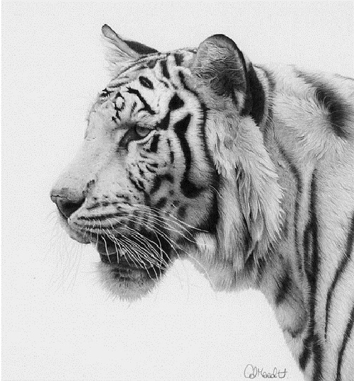 Realistic pencil drawing by British wildlife artist Clive Meredith