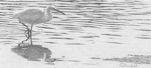 Searching the shallows-Little egret