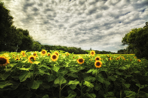 Sunflower in Canada. Canadian photo illustrator Stuart Deacon
