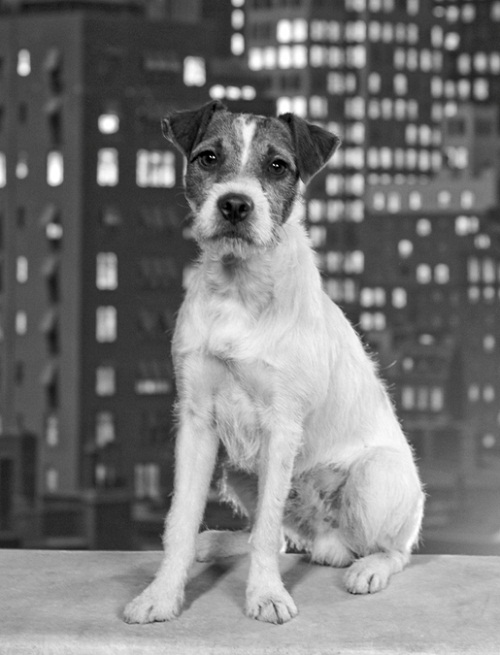 Uggie as 'Jack' in The Artist