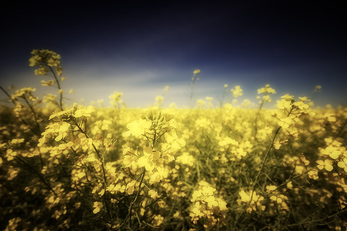 Yellow Fields in Canada. Canadian photographer Stuart Deacon