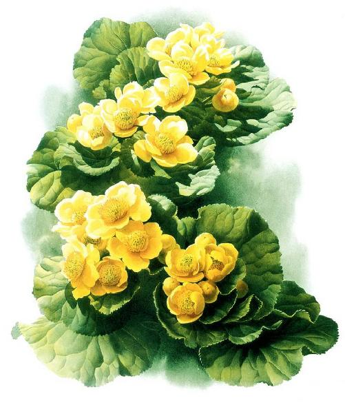 Caltha Palustris. Botanical Watercolor painting by Chinese artist Zeng Xiao Lian