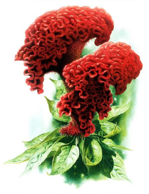 Celosia cristata. Botanical Watercolor painting by Chinese artist Zeng Xiao Lian