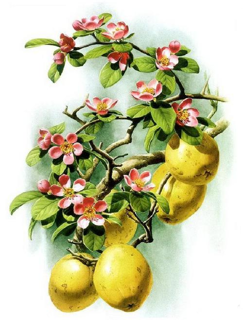 Chaenomeles sinensis. Botanical Watercolor painting by Chinese artist Zeng Xiao Lian