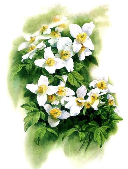 Clematis montana. Botanical Watercolor painting by Chinese artist Zeng Xiao Lian