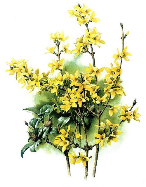 Forsythia suspensa. Botanical Watercolor painting by Chinese artist Zeng Xiao Lian