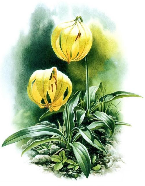 Lilium lophophorum. Botanical Watercolor painting by Chinese artist Zeng Xiao Lian