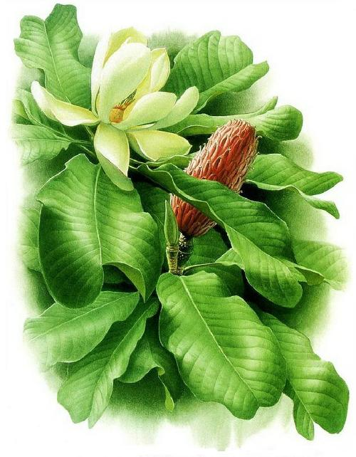 Magnolia officinalis var. biloba. Botanical Watercolor painting by Chinese artist Zeng Xiao Lian