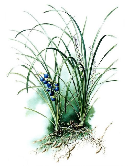 Ophiopogon japonicus. Zeng Xiao Lian botanical watercolor