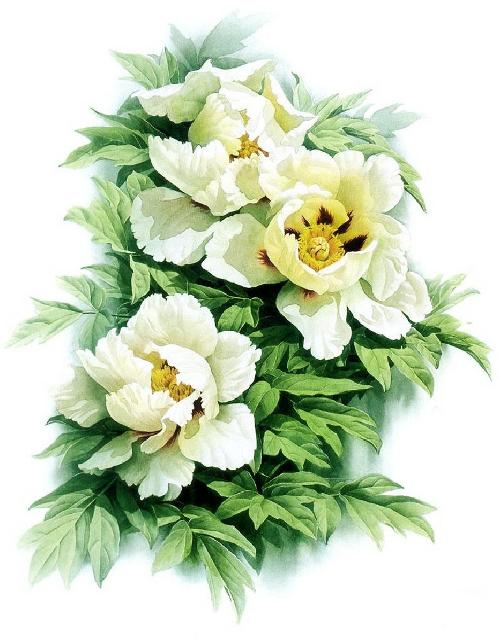 Paeonia suffruticosa var. papaveracea. Zeng Xiao Lian botanical watercolor