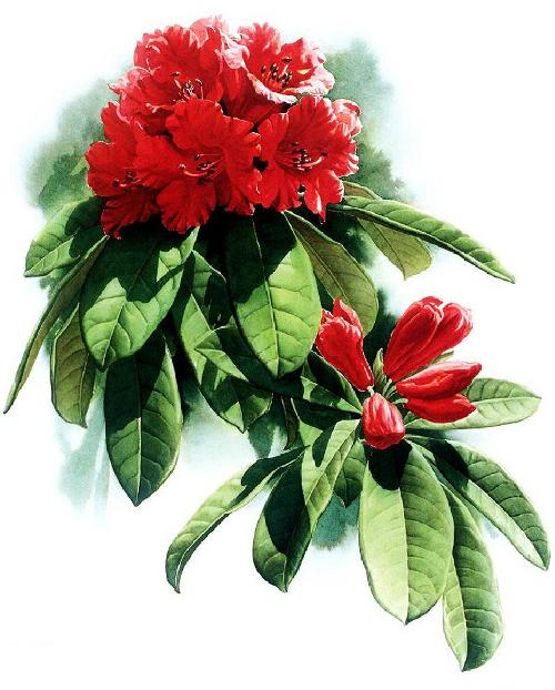 Rhododendron delavayi. Botanical Watercolor painting by Chinese artist Zeng Xiao Lian