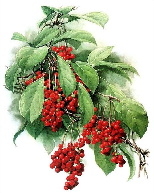 Schisandra chinensis. Zeng Xiao Lian botanical watercolor