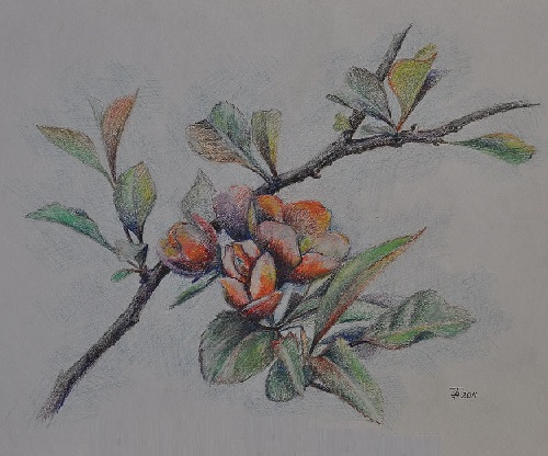 Blossoming quince
