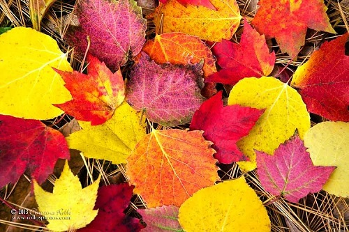Colorful Autumn Leaves. Photography by Christina Rollo
