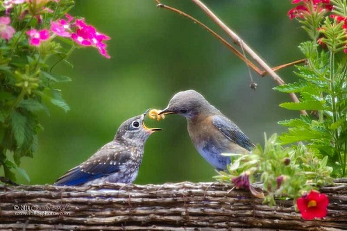 Eastern Bluebirds, adult female with chick feeding on meal-worms. Photography by Christina Rollo