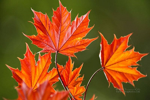 Fresh Red Maple Leaves in Spring. Photography by Christina Rollo