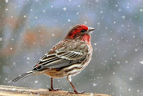 House-finch. Photography by Christina Rollo
