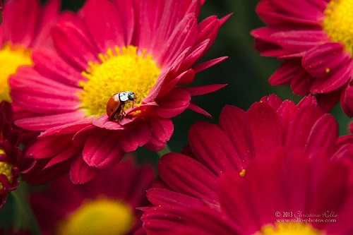 Little Red Ladybug. Photography by Christina Rollo