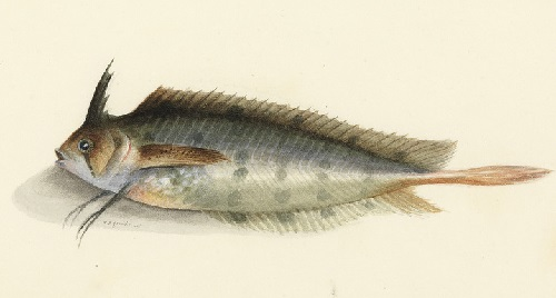 Rare species of fish in watercolor painting by William Buelow Gould