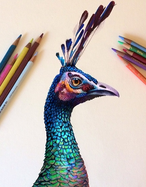 Peacock sketch using colored pencil on a watercolor base. Illustrator Morgan Davidson