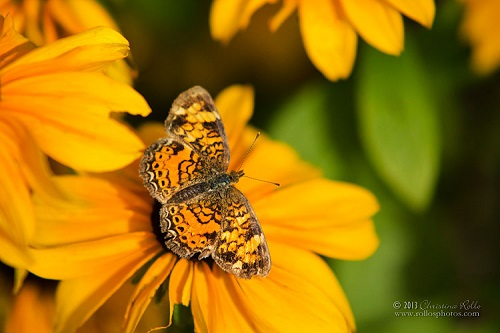 Pearl Crescent Butterfly. Photography by Christina Rollo