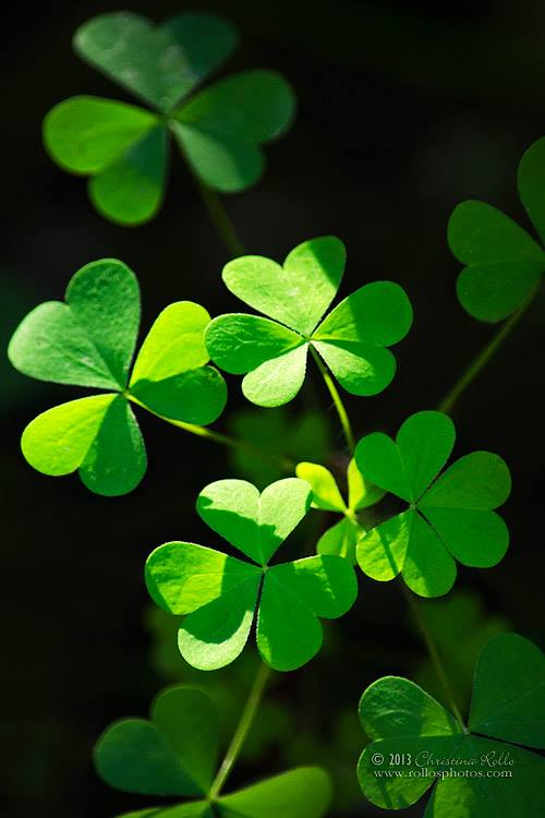 Perfect Green Shamrock Clovers. Photography by Christina Rollo