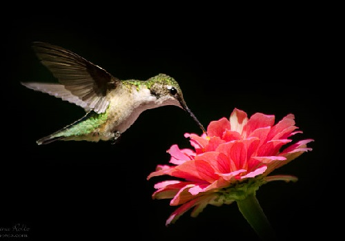 Ruby-Throated Hummingbird and pink zinnia flower. Fine art nature photographer Christina Rollo