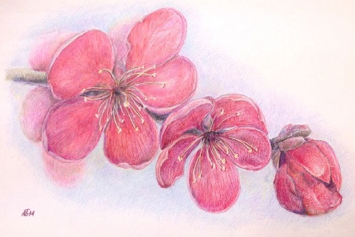 Sakura, watercolor pencils