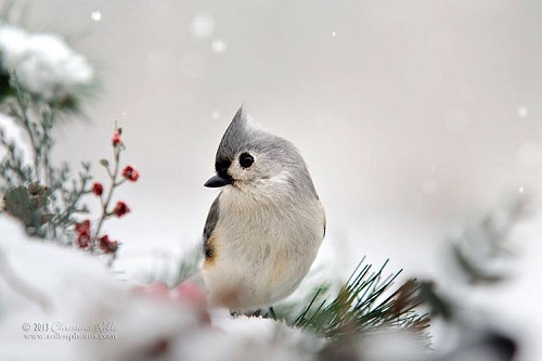 Snow White Tufted Titmouse. Photography by Christina Rollo
