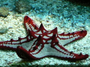 Amazing starfish of Bordeaux color