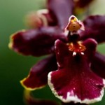 Burgundy orchid